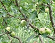 Kinnauri Golden Apple